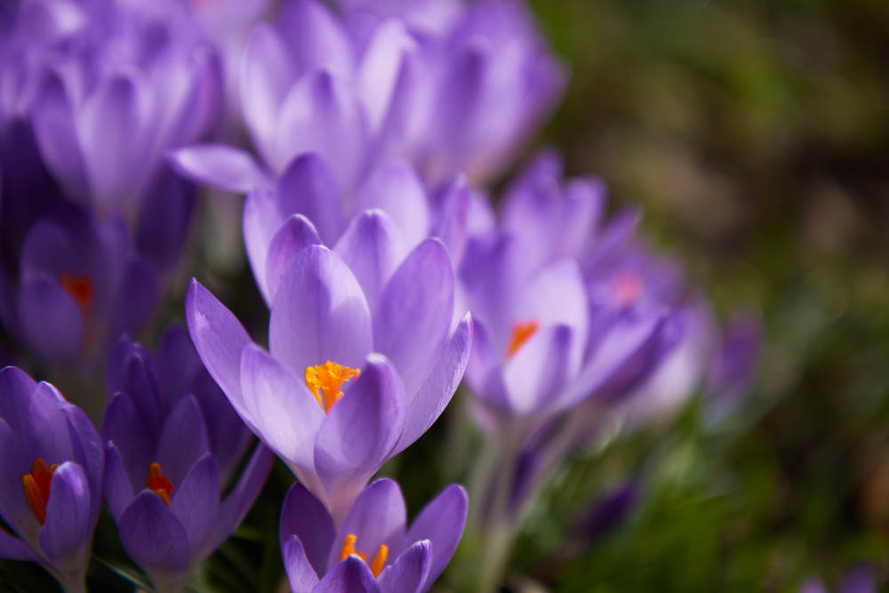 Divine You Mag - The health benefits of Crocus Kozanis