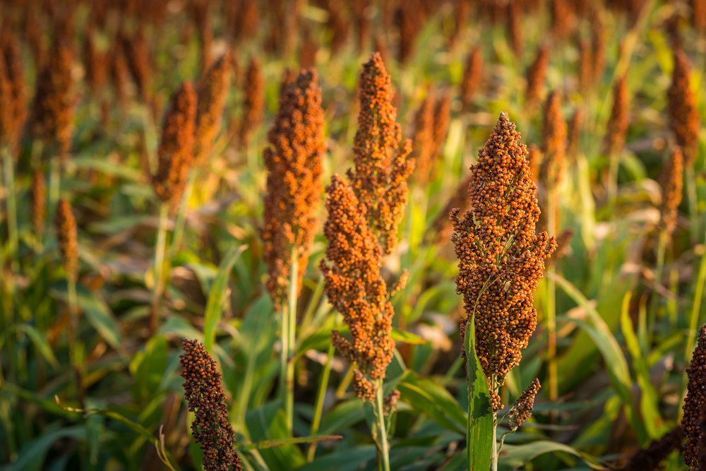 Divine You Mag - 3+1 health benefits of Sorghum consumption